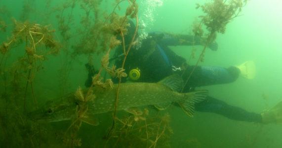 Jezioro Tarnobrzeskie – pierwszy nur